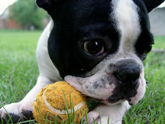 french bulldog names